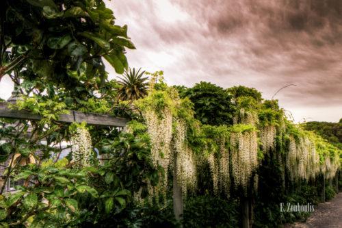 Landschaftsaufnahme mit hängenden Blüten in Akaroa